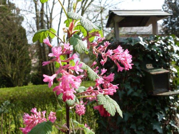 Groseillier sanguin en fleurs
