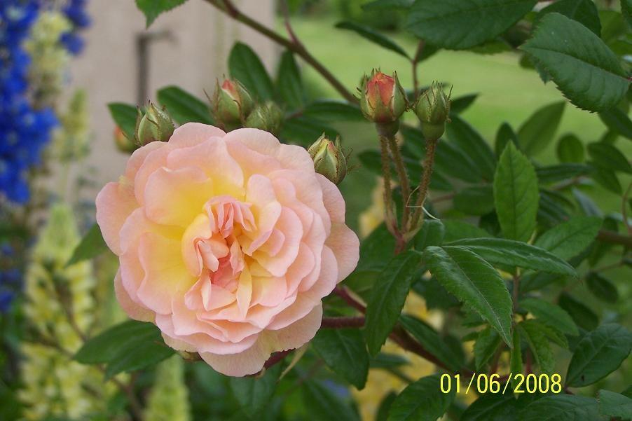 les roses de mon jardin rosier ghislaine de f ligonde galerie photos jardinature. Black Bedroom Furniture Sets. Home Design Ideas
