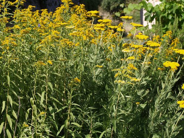 emejing fleurs jaunes jardin vivace gallery