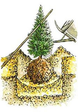 La plantation d 39 un arbre ou d 39 un arbuste - Tuer un arbre avec de l acide ...