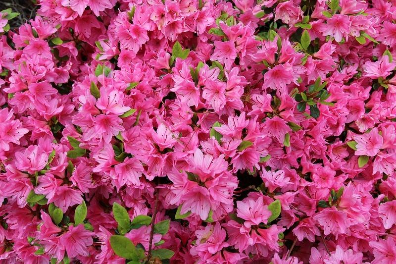 https://www.jardinature.net/images/Azalee01.jpg
