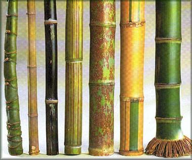 les bambous g n ralit s caract ristiques et plantation. Black Bedroom Furniture Sets. Home Design Ideas