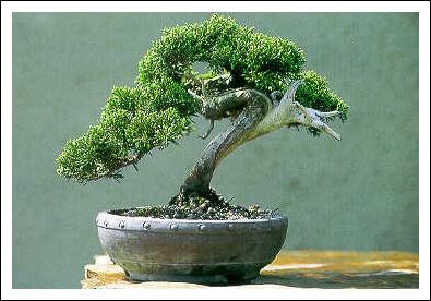 Le bonsa tout un art for Arbre bonsai exterieur