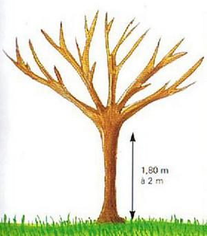 La taille des arbres fruitiers - Comment tailler un pommier ...