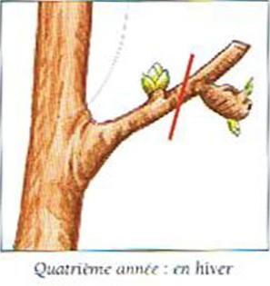La taille des arbres fruitiers - Taille arbre fruitier ...