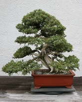 Juniperus rigida