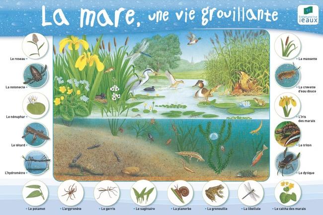 La mare naturelle for Poisson pour mare