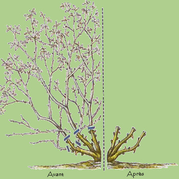 Les rosiers plantation taille bouturage entretien - Quand tailler les abricotiers ...