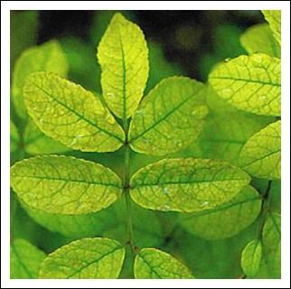 Les maladies des rosiers acariens botrytis chenilles for Eleagnus maladie feuilles jaunes