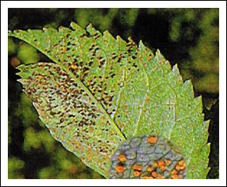 Les maladies des rosiers pr vention identification lutte - Maladie du rosier ...