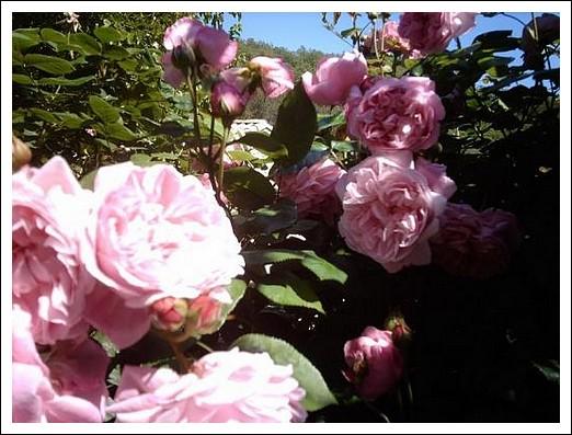 Les maladies des rosiers pr vention identification lutte - Puceron rosier savon noir ...
