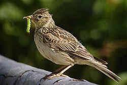 Les oiseaux de nos jardins les oiseaux de jardins for Oiseau commun