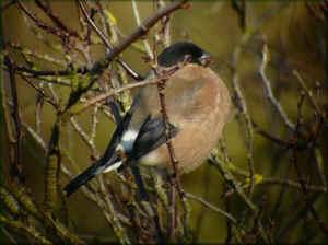 Les oiseaux de nos jardins les oiseaux de jardins for Oiseaux de nos jardins en belgique