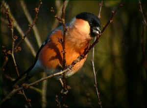 Les oiseaux de nos jardins les oiseaux de jardins for Petit oiseau avec houpette