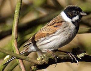 Les oiseaux de nos jardins les oiseaux de jardins for Oiseau marron