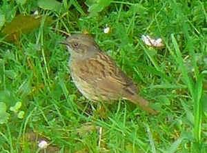 Les oiseaux de nos jardins les oiseaux de jardins for Petit oiseau gris
